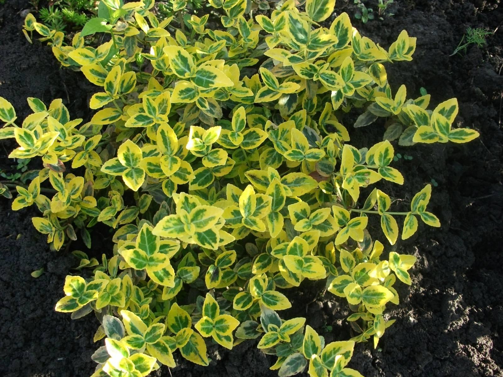 Комнатные цветы с зелено-белыми листьями фото