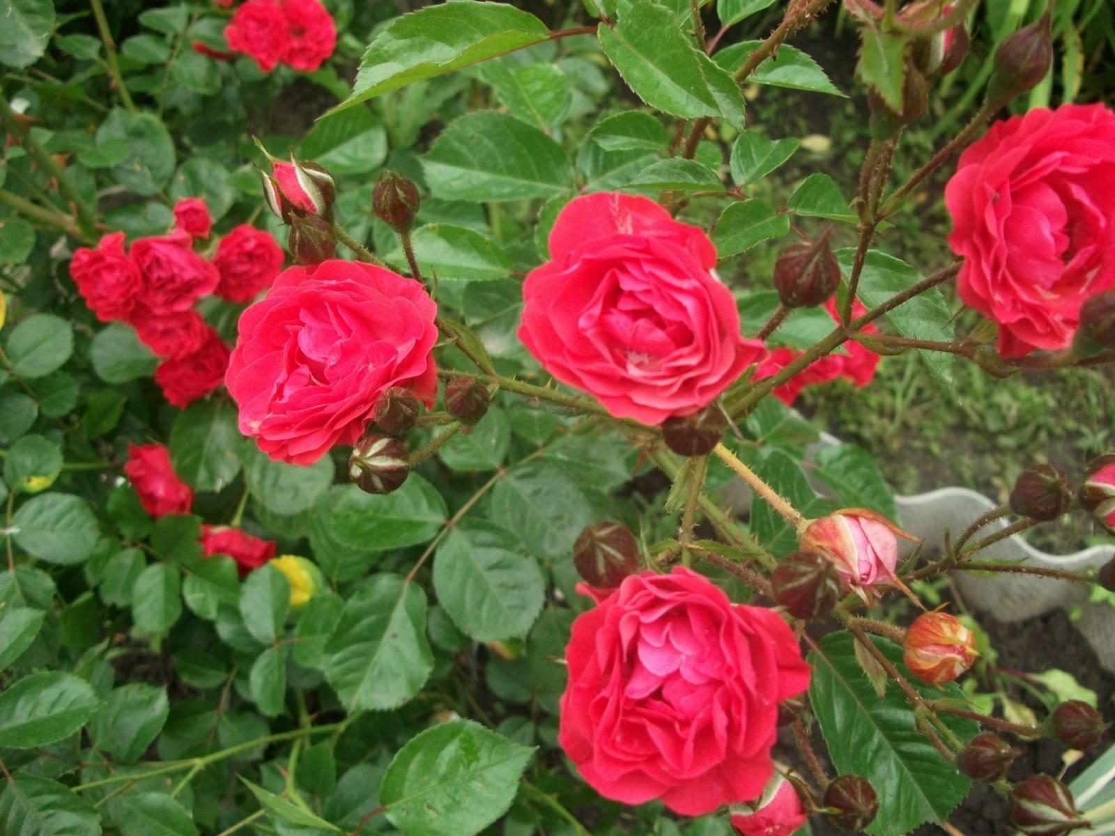 Роза кустовая вьющаяся купить